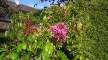 18_Fuchsia_arborescens_2.jpg